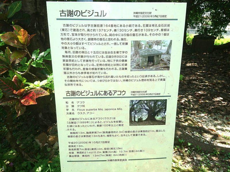 沖縄市古謝の古謝びじゅるとアコウの木の説明