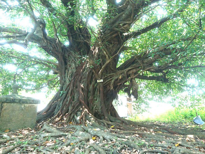 沖縄市古謝のアコウの木