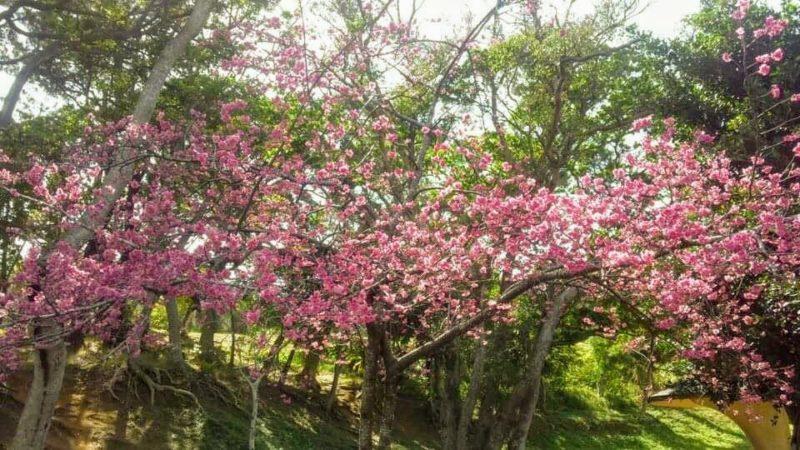 沖縄市の桜、花見