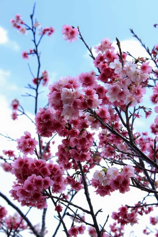 沖縄市八重島公園の桜