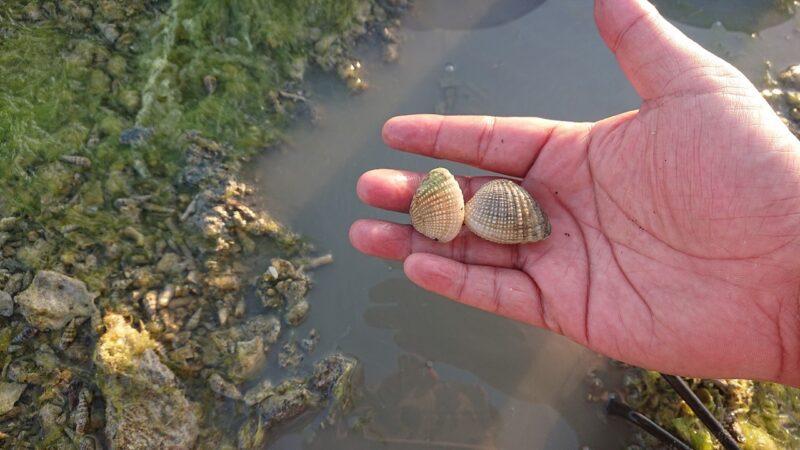 沖縄市で潮干狩り。泡瀬干潟