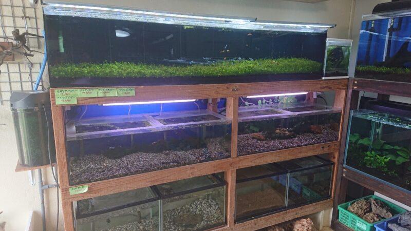 カラシン沖縄市胡屋の熱帯魚